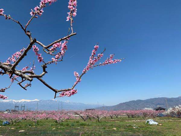 20190413001-1満開の桃の花