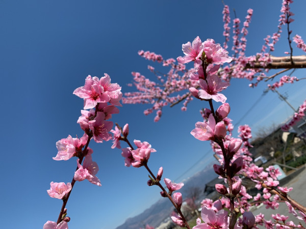 20190413002-1満開の桃の花