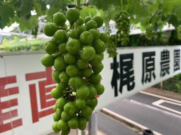 間引く前のブドウ